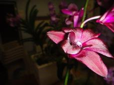 3rd Dendrobium. Den. Airy Crimson L Hocking