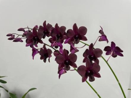 1st Dendrobium Den. Airy Crimson Barry W
