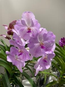 2nd. Vanda. v. Kulwaee Lorraine H