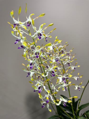 3rd Dendrobium Den Taurus x canaliculatum Lionel K