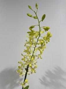 2nd Dendrobium Den. Airy Aloana