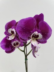 3rd Any Other Genera Phal Unknown Lorraine H