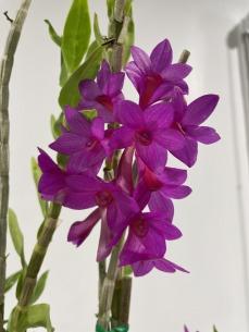 3rd Dendrobium Den. Janya x sulawesiense